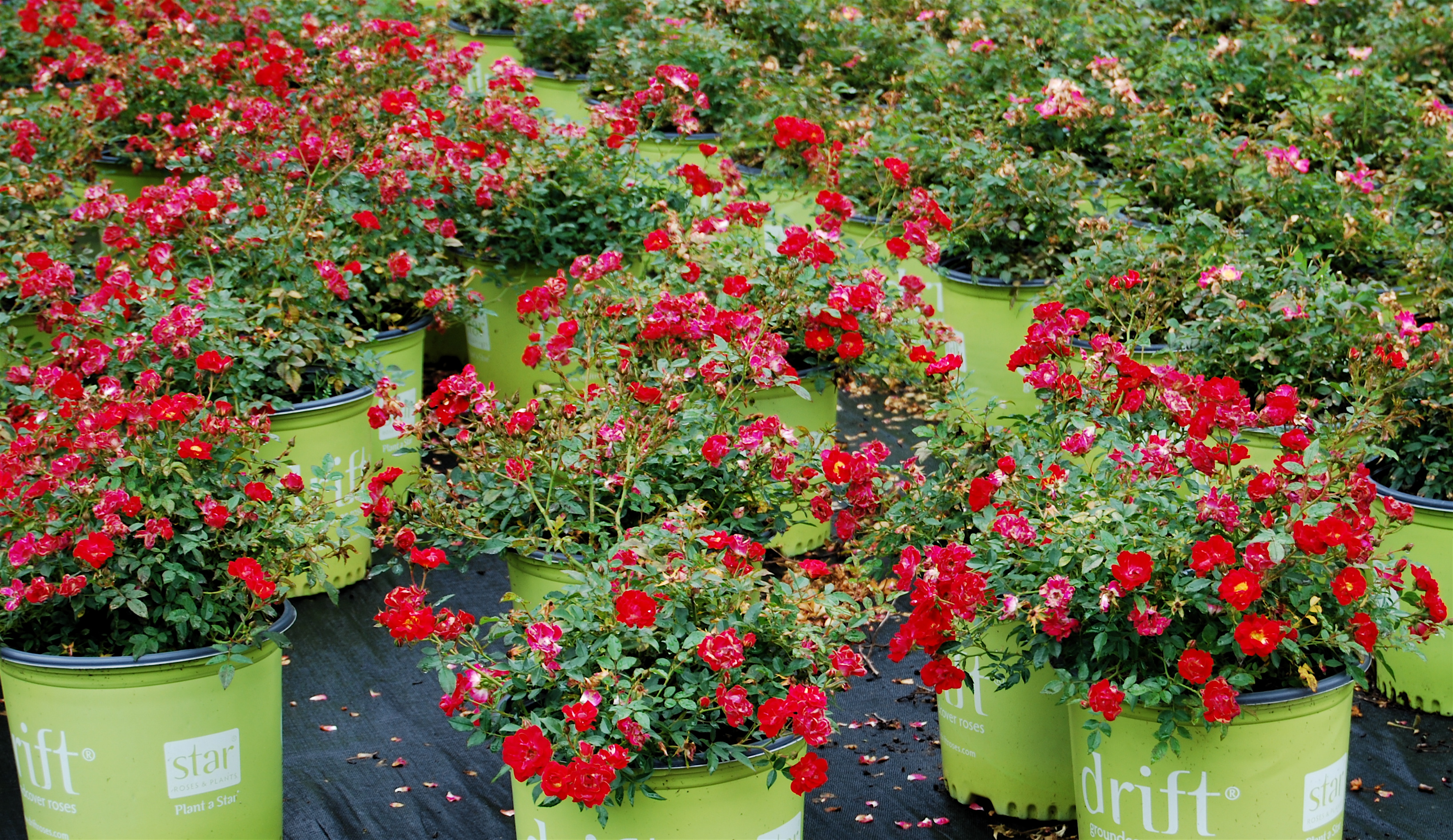 Veronica S Nursery Forest Hill Louisiana Whole Plants